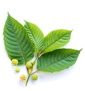 healthy kratom leaves image on zen life naturals